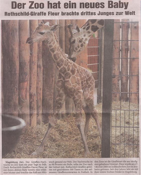 25_2_2012_Magdeburger_Sonntag-Giraffenbaby