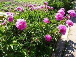31-05-2015_Dietmars_Garten-Frau-Schmohl1
